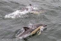 2014_10_13 Common Dolphin off Atlantic Beach and Rockaway Beach on the AP with GW